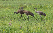 Sandhill Crane Family Walking