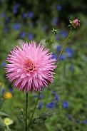 Dahlia pink flower