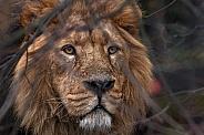 Asiatic Lion Hiding Behind Twigs