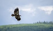 Young bald eagle flying through a scenic landscape