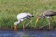 Yellow-billed Storks (Mycteria ibis)