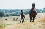 Warmblood Mare and Foal