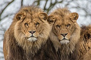 African Lion Brothers (Panthera Leo)