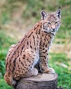 lynx cub on log