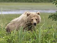 Alaskan brown bear in the tall grass looking around