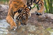 Sumatran Tiger - 1 Year Old Cub -Male