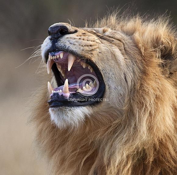 An adult male Lion (Panthera leo)