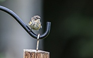 Juvenile Yellow-rumped Warbler Still Begging