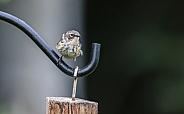 Juvenile Yellow-rumped Warbler Still Begging