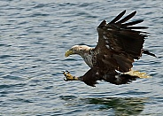 White Tailed Sea Eagle Fishing