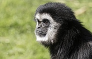 Lar Gibbon Side Profile