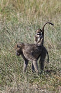 Female Chacma Baboon and young - Botswana