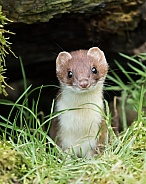Stoat / Short-tailed Weasel