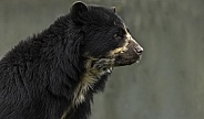 Andean Bear Head Shot Side Profile Close Up