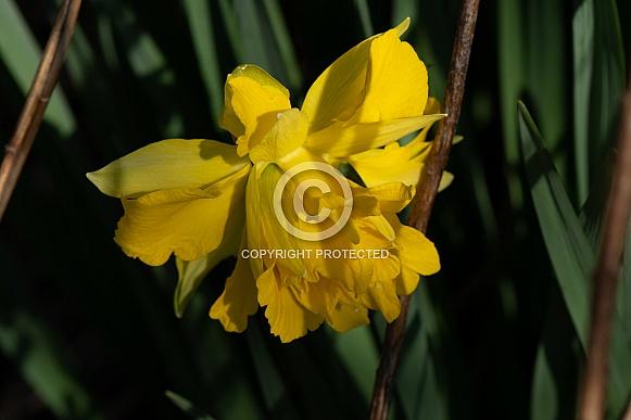Heirloom Daffodils