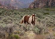 Equus caballus, domestic horse