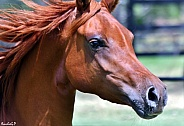 Arabian Gelding Close-up