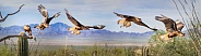 Caracara Flight Sequence