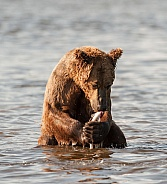 Brown Bear holding a fish