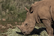 White Rhino Calf Side Profile