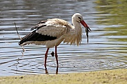 Stork with frog
