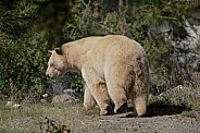 Spirit Bear (Kermode Bear)