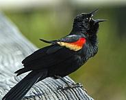 Male Red-winged Blackbird Singing