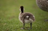 Australia wood duckling (wild).