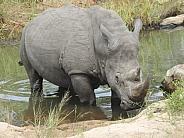 Rhinoceros lying in water