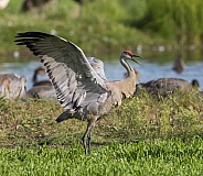 Sandhill Crane Stretching or Flapping Wings