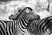 Zebra Pair. Black and White