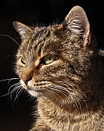 Light and Shadow Tabby Cat Portrait
