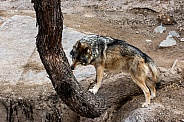 Mexican Grey Wolf - Male