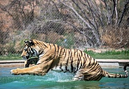 Tiger jumping into a swimming pool