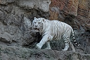 White Tiger on the Rock