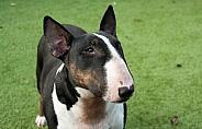 Tri-colour English Bull Terrier