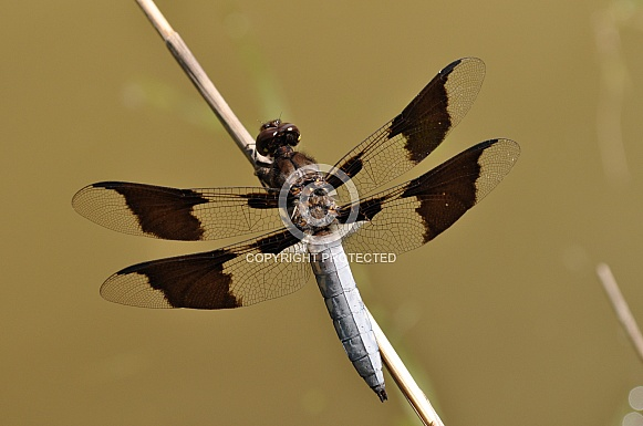 Common Whitetail Skimmer Dragonfly