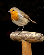 Robin on Fork handle