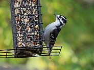 Male Downy Woodpecker in Alaska