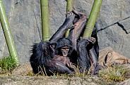 Nursing Baby Bonobo