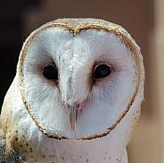Portrait of a Female Barn Owl
