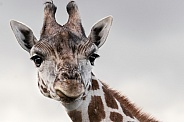 Giraffe Looking Forward Ears Out