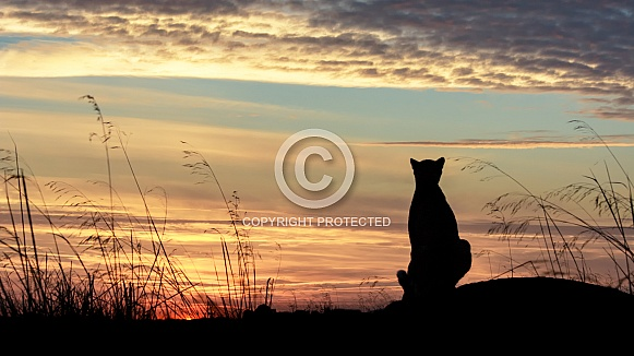 Cheetah at sunrise