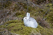 Snowshoe Hare Sitting on a Mossy Rock