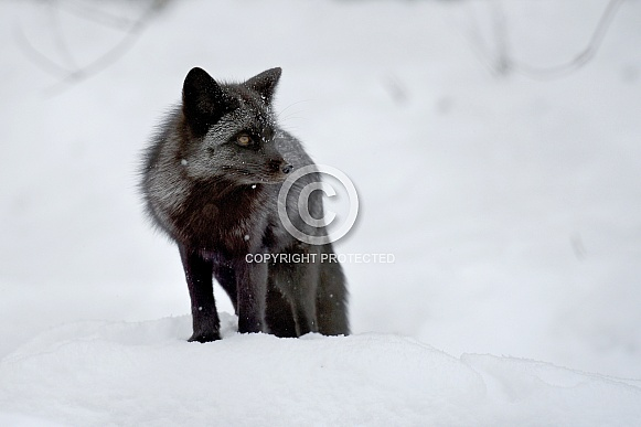 Red Fox in black phase