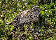 Jaguar Looking Down (wild)