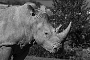 Black and White Image of White Rhino