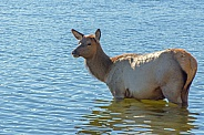 Elk Cow in Yellowstone Lake