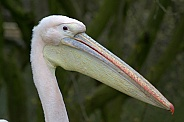 Eastern White Pelican