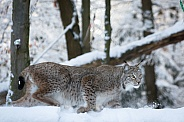 Lynx running through the snow